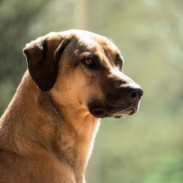 dressage de chien berger allemand pdf gratuit