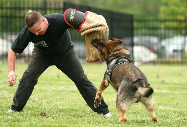 dressage chien beagle