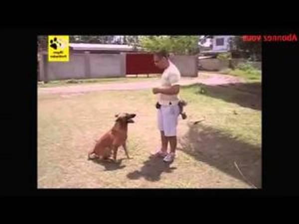 dressage chien troupeau border collie