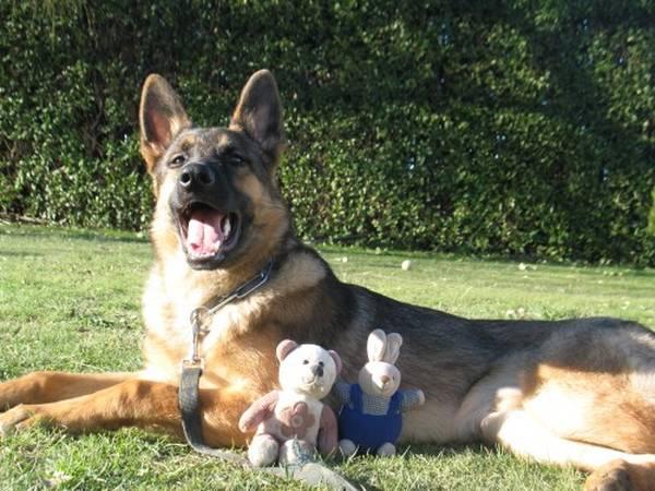 dressage chien 15 mois