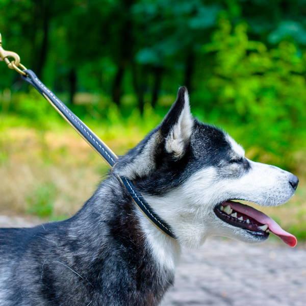 dressage chien courant sur sanglier