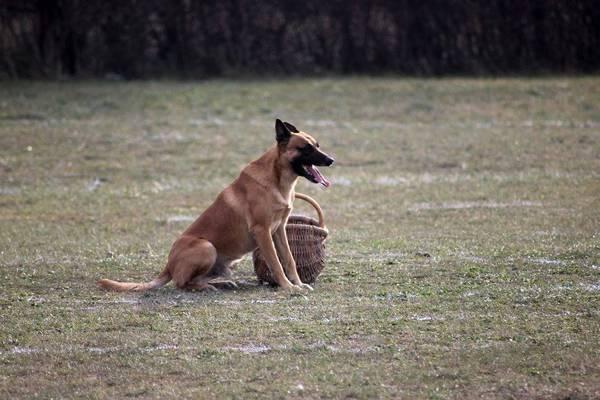 dressage chien beauchamp