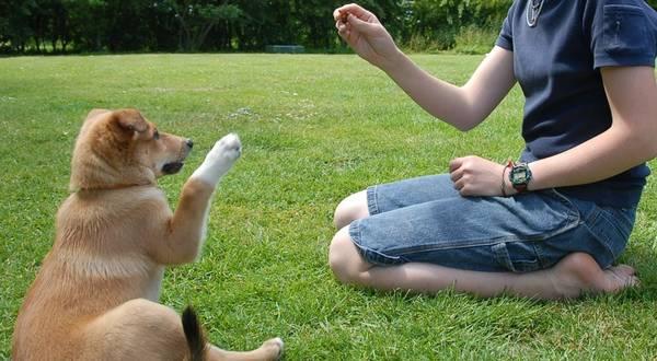 dressage de chien courant