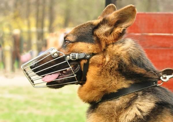 collier dressage chien de chasse