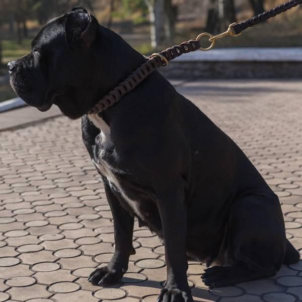 collier dressage chien darret