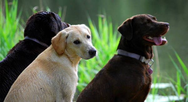 dresser un chien de chasse au sanglier