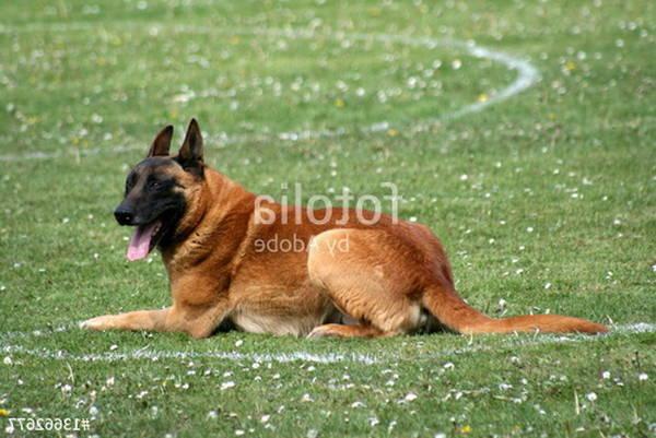 dresseur chien de pied sanglier voie unique