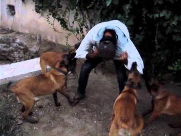 video dressage chien a sanglier