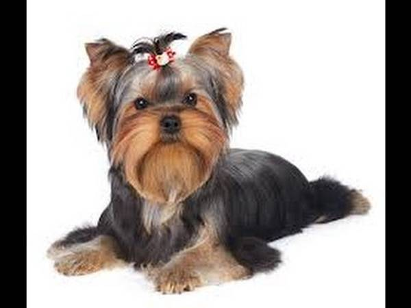dressage chien chasse sanglier