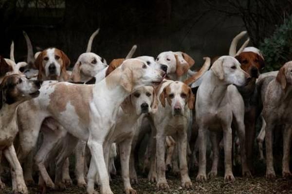 dressage chien loup de saarloos