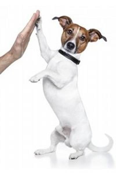 dressage de chien adulte