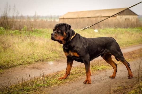age chien pour dressage