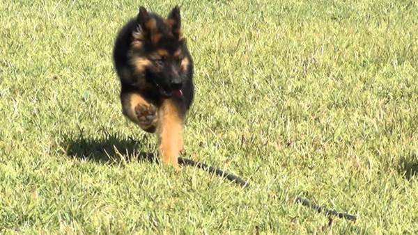 formation dressage chien de chasse
