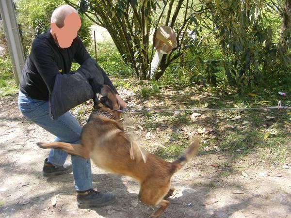 dressage de chien de garde