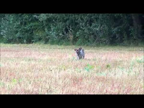 dressage chien pitbull attaque