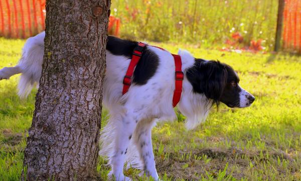 dressage chien border collier