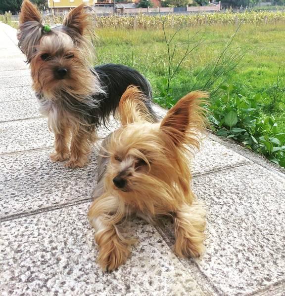 dressage chien de chasse beagle