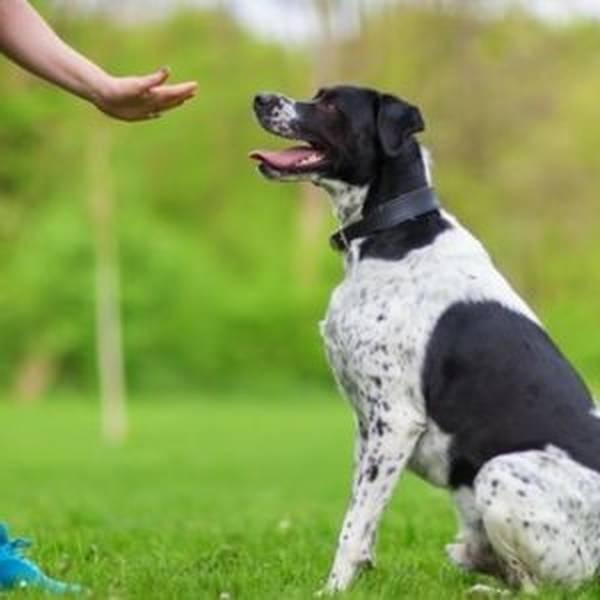 dresseur chien darrêt setter anglais