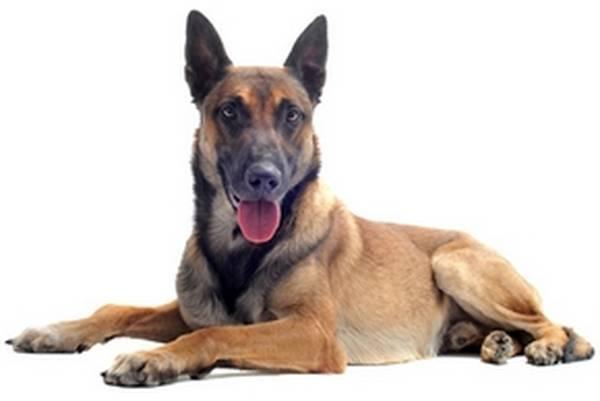 dressage de chien malinois