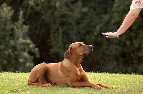 dressage chien chasse oise