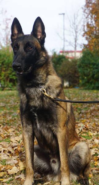 dressage de chien berger allemand en algerie