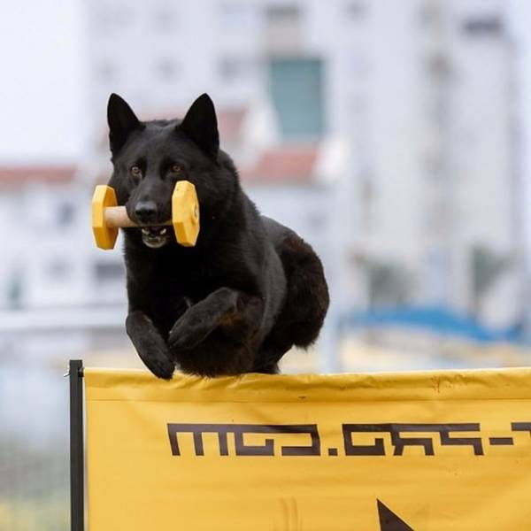 dressage chien kenitra