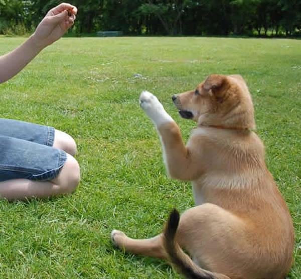 pension dressage chien de chasse
