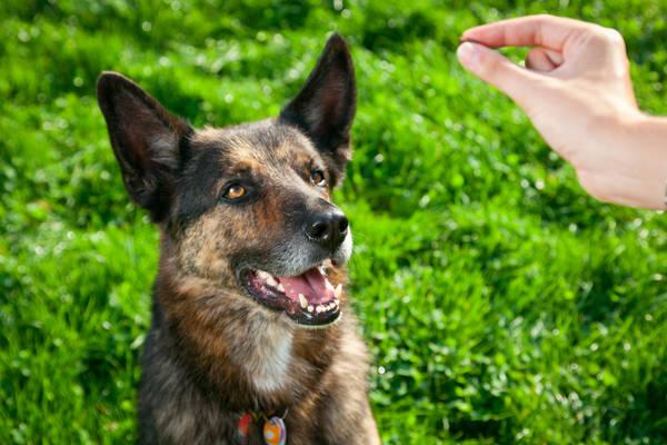 dressage chien de chasse maroc