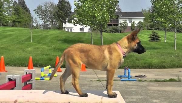 dresseur chien darrêt correze