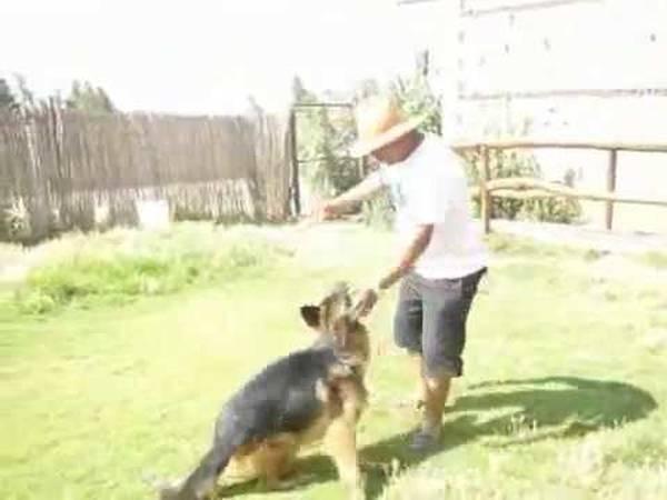 dressage chien darret setter gordon