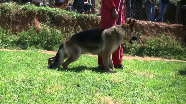 dressage chien tervuren