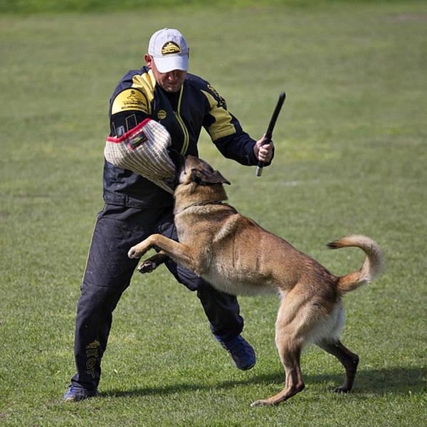dressage chien de chasse au rapport