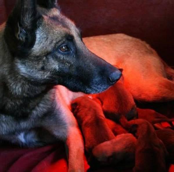 livre dressage chien berger australien