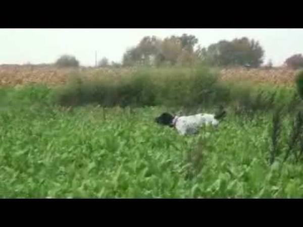 dressage chien pour chasse sanglier