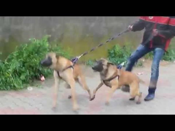 dressage chien hazebrouck