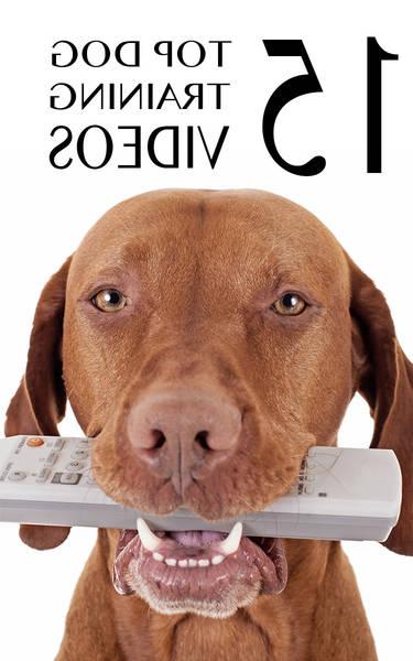 dressage chien pour aveugle