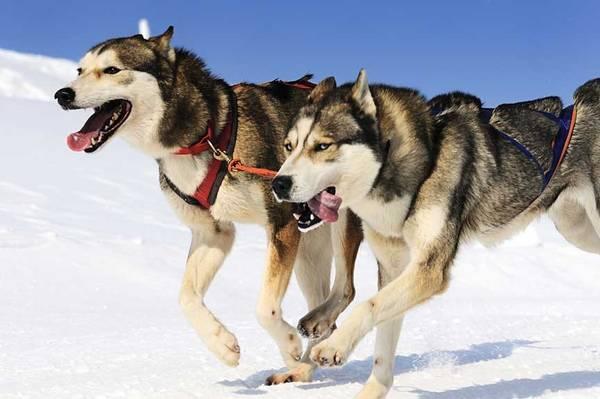 collier dressage chien chasse gps