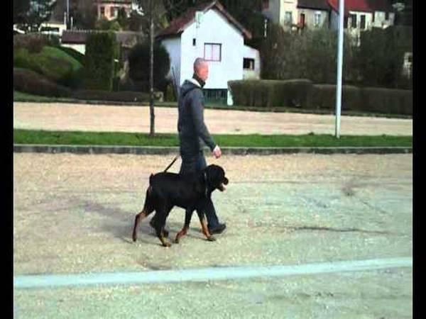 dressage chien 6 mois