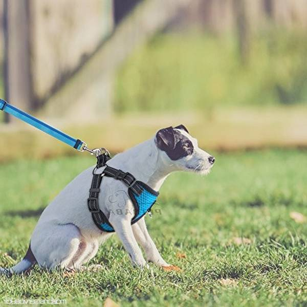 dressage chien de chasse jack russell
