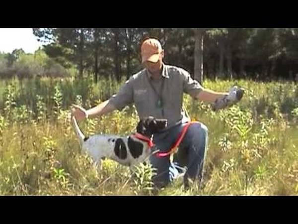 dressage chien chasse epagneul francais