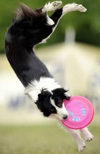 dressage chien de chasse springer spaniel