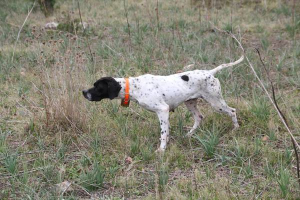 chien berger allemand dressage 3 mois