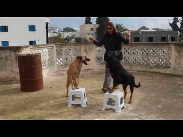 dressage chien de chasse rapport