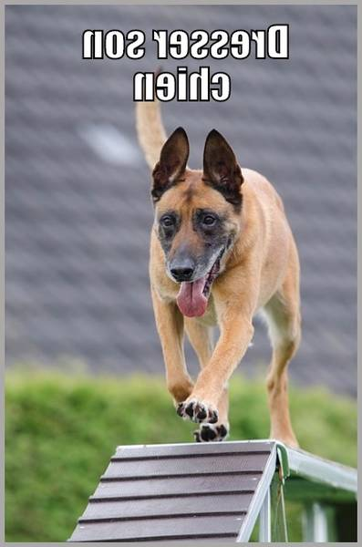dressage chien wormhout