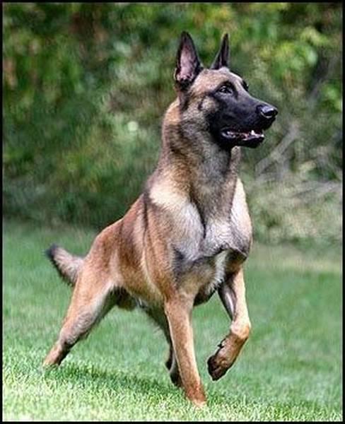 dressage dun jeune chien d'arret