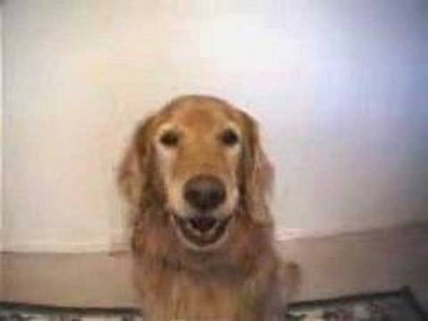 dressage du chien berger allemand