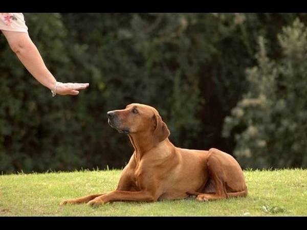 dressage chien de chasse pyrenees atlantiques
